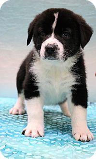 Border Collie/Labrador Retriever Mix Puppy for adoption in Hagerstown, Maryland - Max