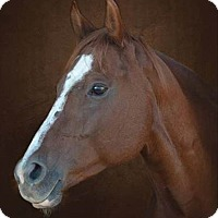 Quarterhorse Mix for adoption in Des Moines, Iowa - Rose