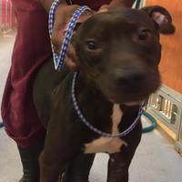 Adopt A Pet :: Sullivan - St. Thomas, VI