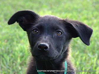 Border Collie Mix Puppy for adoption in PRINCETON, Kentucky - PARIS/ADOPTED
