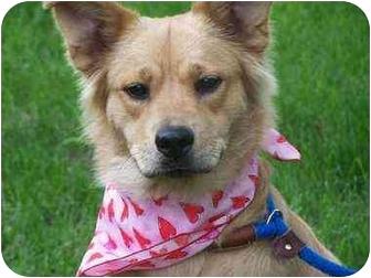 Border Collie/Chow Chow Mix Dog for adoption in Battleground, Indiana - Blondie