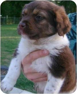 Australian Shepherd Mix Puppy for adoption in Callahan, Florida - MJ