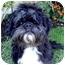 Photo 1 - Lhasa Apso/Shih Tzu Mix Dog for adoption in Los Angeles, California - BOSCO