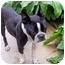 Photo 2 - Boston Terrier Dog for adoption in Temecula, California - Snickerdoodle