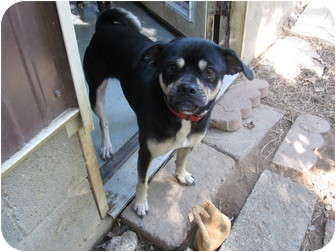 Pug/Beagle Mix Dog for adoption in Hohenwald, Tennessee - Gomez