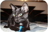 Domestic Shorthair Cat for adoption in Tampa, Florida - Buddy