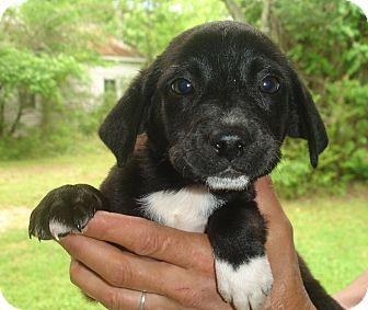 Labrador Retriever/Australian Shepherd Mix Puppy for adoption in Old Bridge, New Jersey - Reve