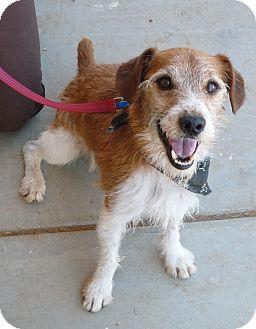Jack Russell Terrier Mix Dog for adoption in El Dorado Hills, California - Godfrey