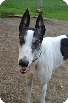 Greyhound Dog for adoption in Chagrin Falls, Ohio - Sharky (Mulberry Shark)