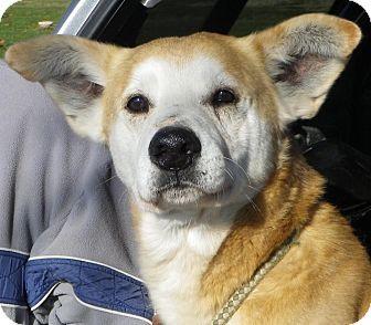 Husky/Labrador Retriever Mix Dog for adoption in Metamora, Indiana - Jasper
