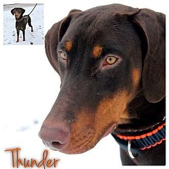Doberman Pinscher Dog for adoption in Garden City, Michigan - Thunder