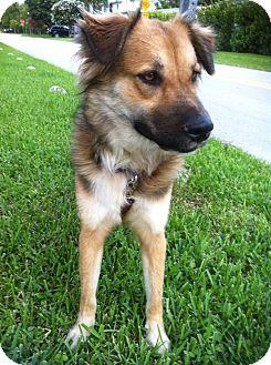 Collie/Golden Retriever Mix Dog for adoption in Ocean Ridge, Florida - Margot