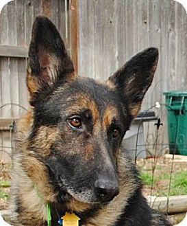 German Shepherd Dog Mix Dog for adoption in Denver, Colorado - Rudi