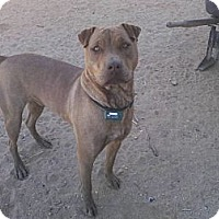 Adopt A Pet :: Jacob - Lucerne Valley, CA