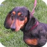 Dachshund Mix Dog for adoption in Wheaton, Illinois - Daphne