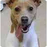 Adopt A Pet :: Snickers Ratbone - Albany, NY