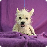 Adopt A Pet :: Benelli - Broomfield, CO