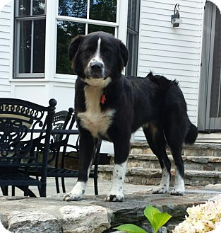 Australian Shepherd/Retriever (Unknown Type) Mix Puppy for adoption in Westport, Connecticut - Scout