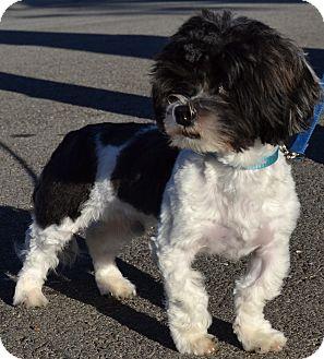 Maltese/Shih Tzu Mix Dog for adoption in Simi Valley, California - Oreo