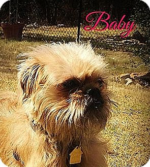 Brussels Griffon Dog for adoption in Austin, Texas - BABY: Adopted