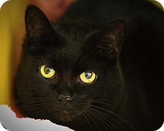 Domestic Shorthair Cat for adoption in Parma, Ohio - Shena