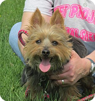 Yorkie, Yorkshire Terrier Mix Dog for adoption in Marseilles, Illinois - Toby