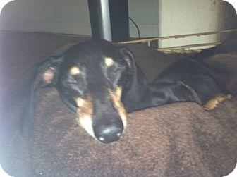 Dachshund Dog for adoption in Henderson, Nevada - Angus