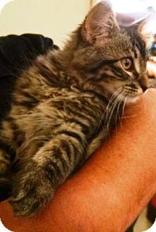 Domestic Longhair Kitten for adoption in Anoka, Minnesota - Wilbur