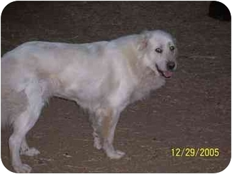 Great Pyrenees Dog for adoption in Kyle, Texas - Lucy