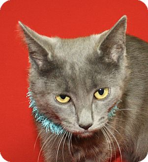 Domestic Shorthair Cat for adoption in Jackson, Michigan - Bigger