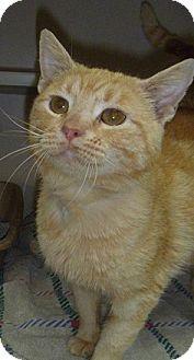 Domestic Shorthair Cat for adoption in Hamburg, New York - Morris
