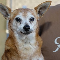 Chihuahua/Pomeranian Mix Dog for adoption in Corona, California - Sir Lancelot and Guinevere