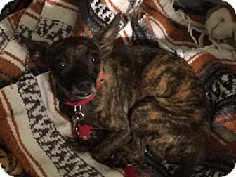 Chihuahua Mix Dog for adoption in Loxahatchee, Florida - Davey