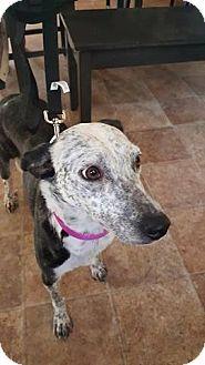 Australian Cattle Dog Mix Puppy for adoption in Pataskala, Ohio - Winni (adoption pending)