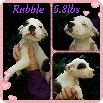 Labrador Retriever/Hound (Unknown Type) Mix Puppy for adoption in Sumter, South Carolina - Rubble
