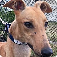 Adopt A Pet :: Gordo Nation - Longwood, FL