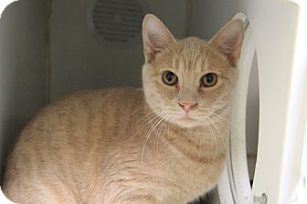 Domestic Shorthair Cat for adoption in Greensboro, North Carolina - Butters