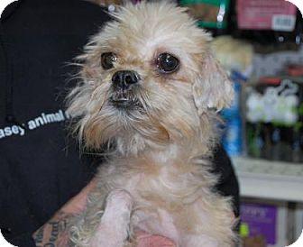 Shih Tzu Mix Dog for adoption in Brooklyn, New York - Ellie