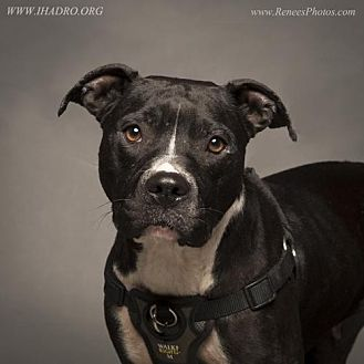 Pit Bull Terrier Mix Dog for adoption in Blacklick, Ohio - Juliet