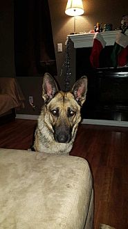 German Shepherd Dog Dog for adoption in Denver, Colorado - Zelda