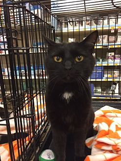 Domestic Shorthair Cat for adoption in Knoxville, Tennessee - Star