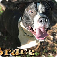 Adopt A Pet :: Bruce - Covington, TN