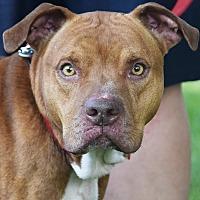 Adopt A Pet :: Blaze - Huntley, IL