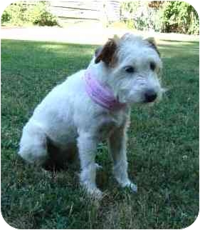 Jack Russell Terrier Dog for adoption in Thomasville, North Carolina - Fuzzy