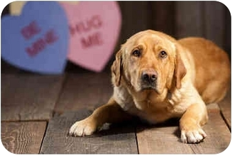 Labrador Retriever/Golden Retriever Mix Dog for adoption in Portland, Oregon - Haus