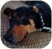 Rottweiler/Labrador Retriever Mix Dog for adoption in Hamilton, Ontario - Levi