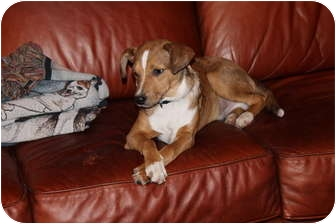 Beagle/Terrier (Unknown Type, Small) Mix Dog for adoption in Portland, Maine - Conway