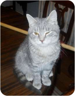 Domestic Shorthair Cat for adoption in Baltimore, Maryland - Xenia