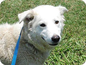 Shepherd (Unknown Type)/Husky Mix Dog for adoption in justin, Texas - Blondie