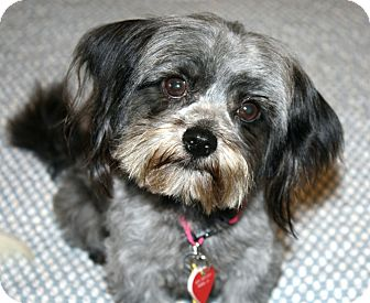 Lhasa Apso/Shih Tzu Mix Dog for adoption in Bellflower, California - Vernon - 7.5 lbs!